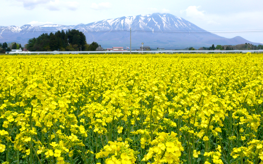 Rape Blossoms Field in Shizukuishi
